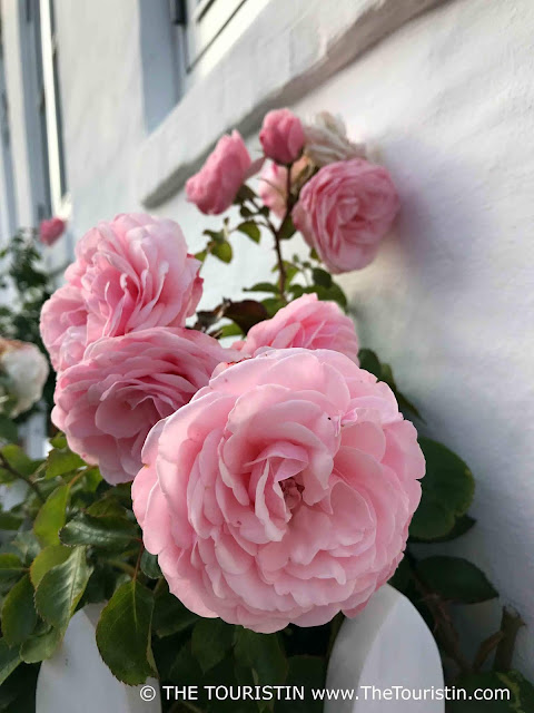 Light pink roses grow in front of a white facade and behind a white fence