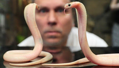 Ular king kobra pink