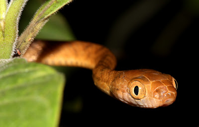 Brown Tree Snake. Photo © Daniel O'Brien
