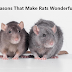 10 Reasons That Make Rats Wonderful Pets