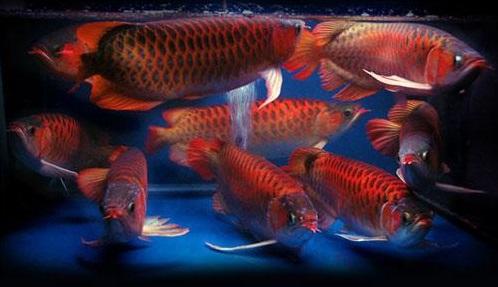 Gambar Ikan Arwana - Budidaya Ikan