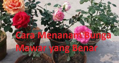 Cara Menanam Bunga Mawar yang Benar