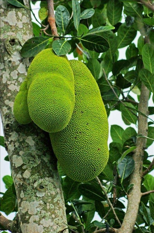 Jaca | Artocarpus heterophyllus