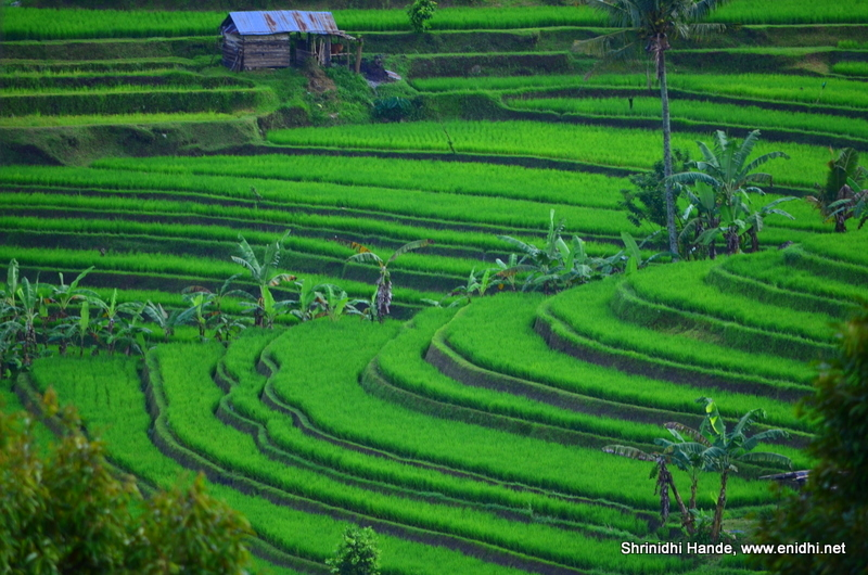 Best rice terrace experience jatiluwih rice terrace bali for Terrace 6 indore images