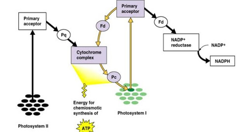 Fosforilasi siklik dan non-siklik
