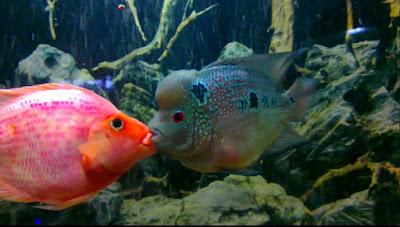 Reproduksi pada ikan - berbagaireviews.com