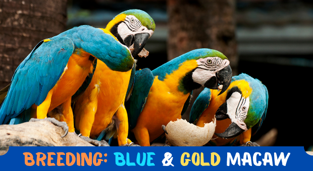 how to breed Blue and Gold Macaw