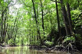 Pengertian Hutan Bakau Menurut Para Ahli