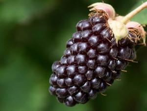 التوت الأسود البري Boysenberry