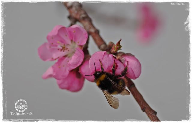 Gartenblog Topfgartenwelt Buchtipp Zwerg- und Säulenobst: blühende Zwergnektarine