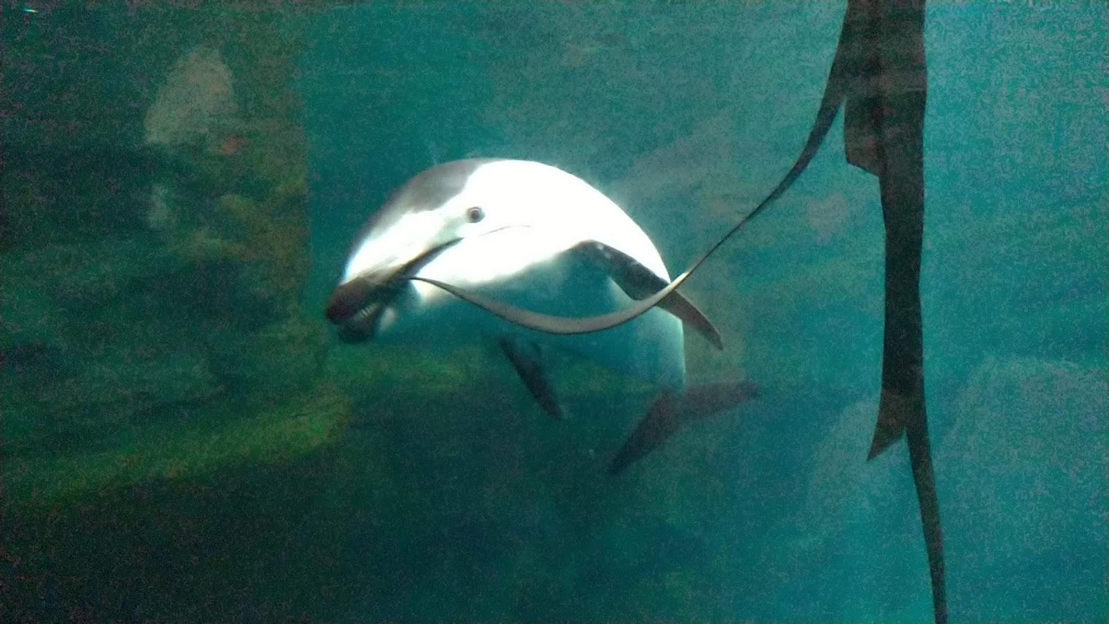 イルカさんが遊んでます!海遊館終わり|海遊館!