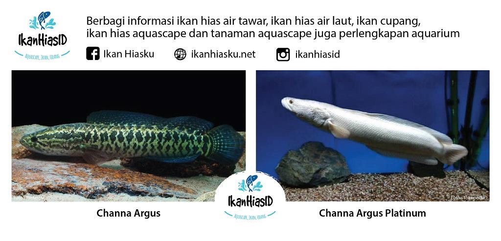 Channa argus dan Channa argus Platinum - 50 jenis ikan Channa terlengkap beserta Harganya