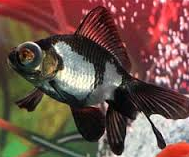 warna Jenis Ikan Mas Koki Panda Moor