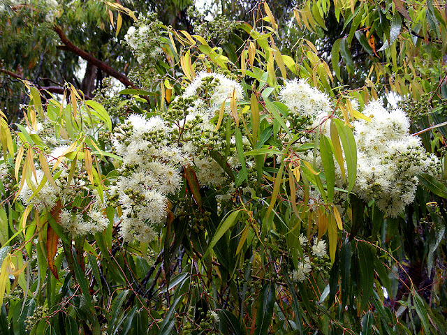 Eucalyptus blossom. Photographed by Susan Walter. Tour the Loire Valley with a classic car and a private guide.