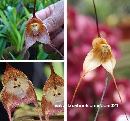 Orquidea cara de Mono