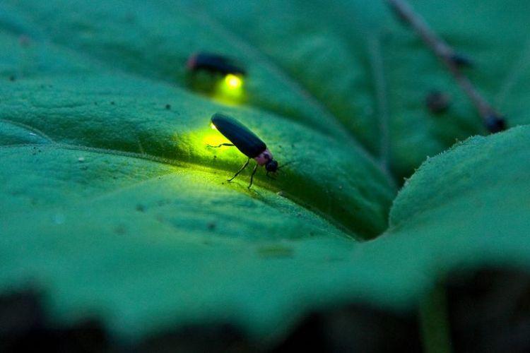 Apa Fungsi Cahaya pada Larva Kunang-kunang? Belajar Sampai Mati, belajarsampaimati.com, hoeda manis