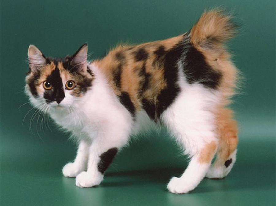 Kurilian-bobtail-cats-healthiana