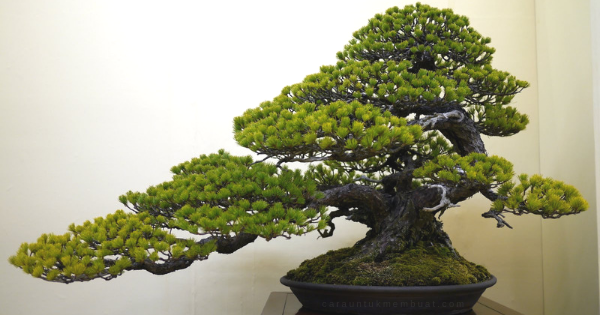 Bonsai Pinus Terbaik
