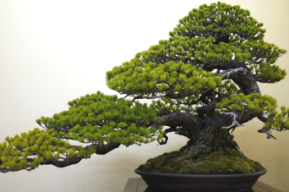 25 Inspirasi Bonsai Pinus Terbaik