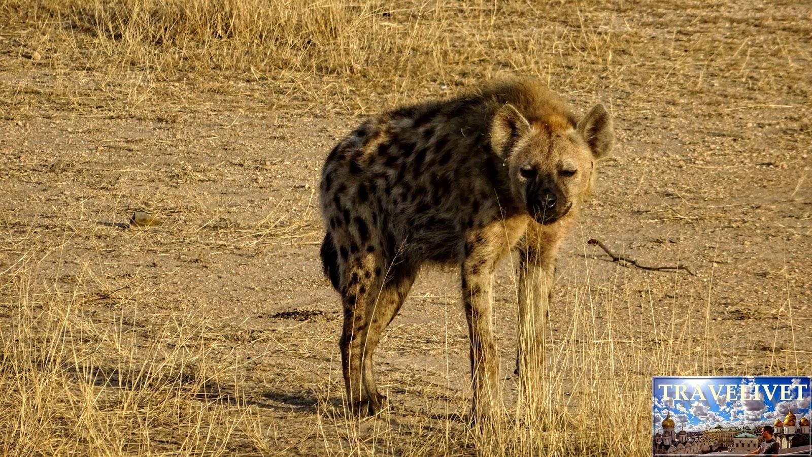 Afrique du sud Parc Kruger Hyene