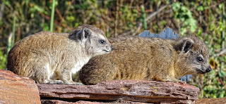 Rock hyrax mother and child