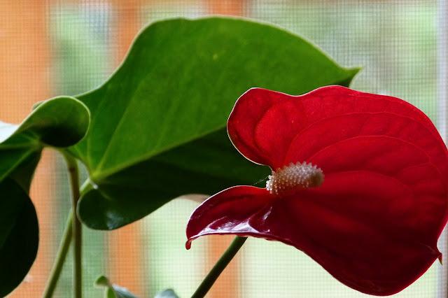 Dark Red  Calla-Lilly