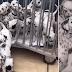 Dálmata tem ninhada de DEZENOVE filhotes e bate recorde mundial