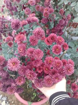 Hoa cúc thân gỗ sơn la
