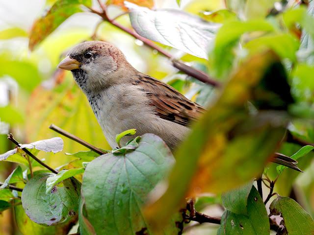 Ein Sperling