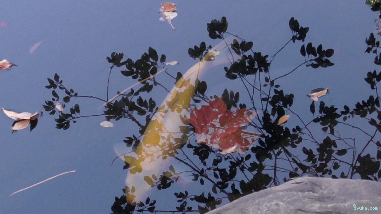 錦鯉(ニシキゴイ)