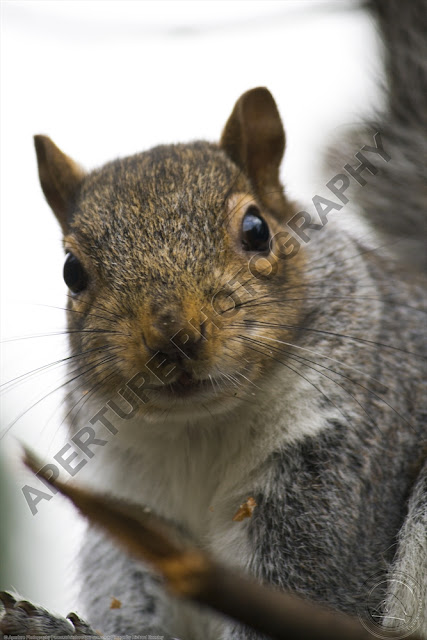 Close up of a cheeky grey squirrel looking straight into the camera