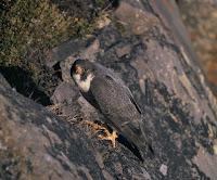 Peregrine falcon at nest, USFWS AK