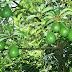 Conoce los Increíbles Beneficios del Aguacate: Fruto, Hojas y Semilla.