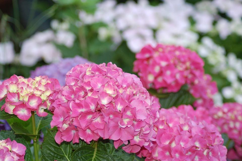 Podar hortensias paso a paso amigos de la jardiner a - Cuando podar las hortensias ...