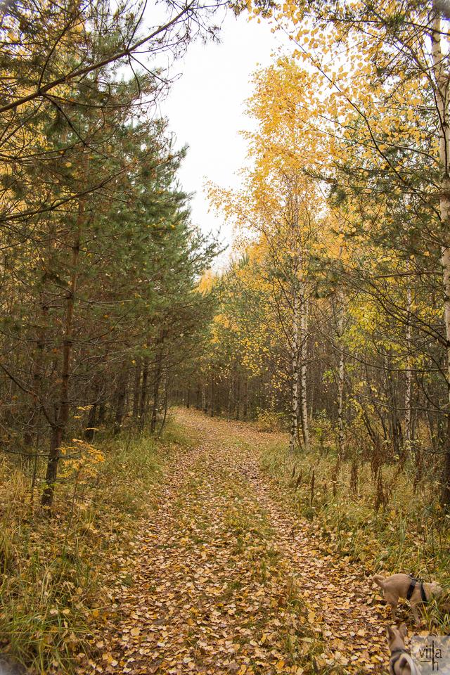 luonto, suomen luonto, lenkkeily, chihuahua, syksy