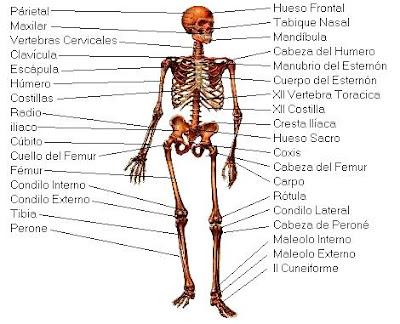 Dibujo del Sistema óseo indicando sus partes a color