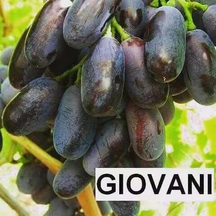bibit anggur Giovanni Palu