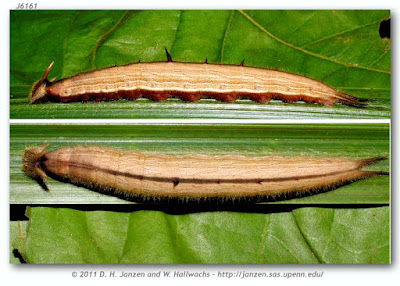 oruga de mariposa lechuza
