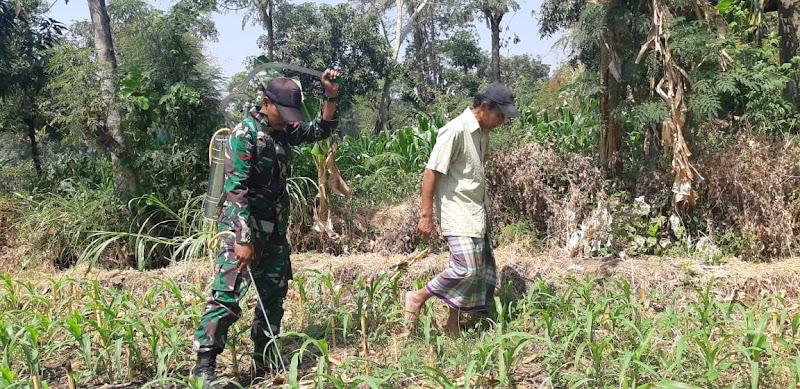 Anggota Koramil 13/Wonorejo Bantu Petani Semprot Tanaman Jagung