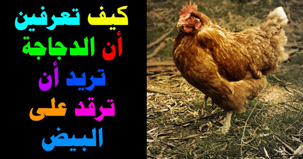 كيف تعرفين أن الدجاجة تريد أن ترقد على البيض