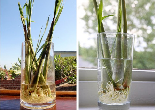 Mẹo vặt hướng dẫn trồng Sả trong nhà đuổi muỗi phòng chống sốt xuất huyết