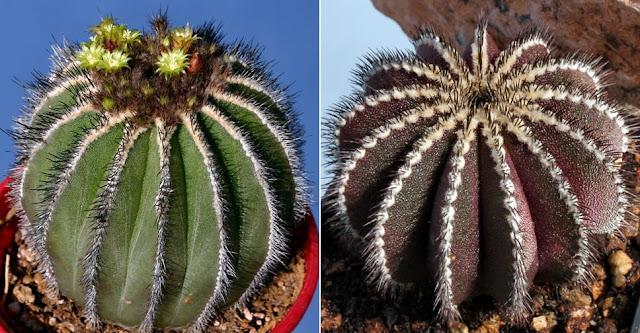 Uebelmannia pectinifera (dx Ombra, sx Sole)