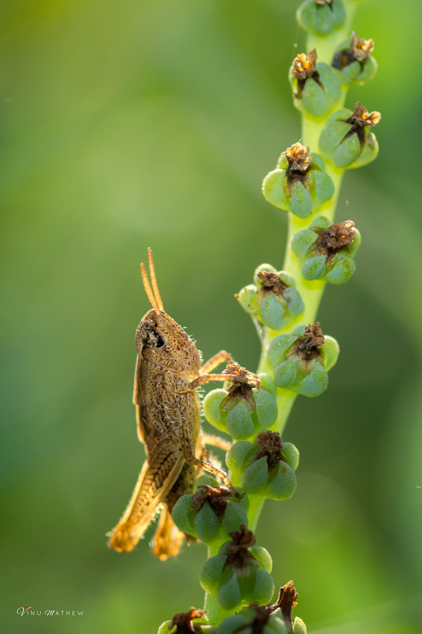 Hollow Grashopper