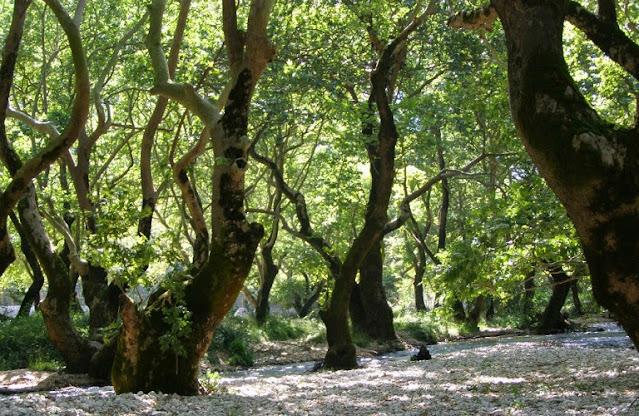 """Μύκητας """"θερίζει δάση από πλατάνια"""