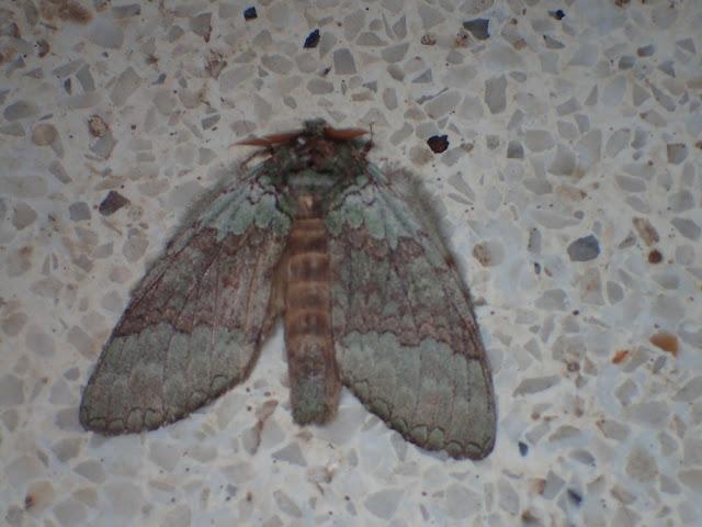 Netria viridescens