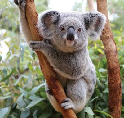 Koala - animals name with K