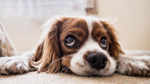 Descubren que la 'mirada de cachorro' es tan solo una ventaja selectiva para atraer a los humanos