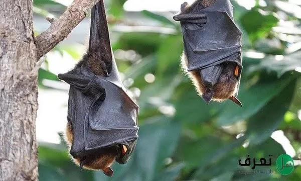 اكبر خفاش في العالم