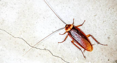 Home Remedies For Cockroach Control