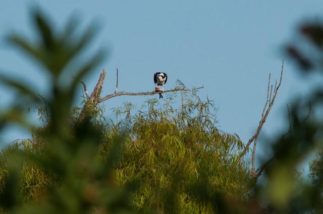 Osprey, LLELA